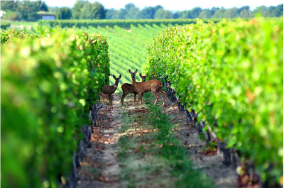 Tips & Best Practices for Wildlife Control in the Vineyard - The Grapevine Magazine